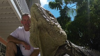 Enormous iguana rules resort like a boss - Video