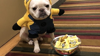 French Bulldog loves to hand out Halloween candy - Video