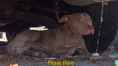 Stray Pit Bull gets hit by a car. Luckily, someone called Hope For Paws to help!