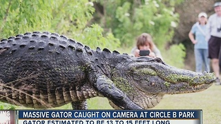 Only in Florida: Video of HUGE gator in Lakeland goes viral - Video