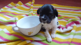 Smallest Puppy Growing Up - Newborn to 8 Weeks Time-Lapse - Video