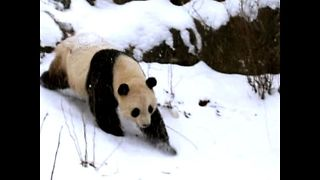 Panda Leaves USA for China - Video