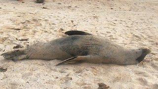 Sea lion lazily rolls to water after chasing rival bull from his women