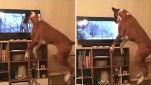 Boxer Dog Buzz Copies The John Lewis Christmas Advert From The Telly