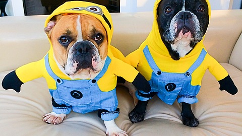 Frenchies show off their adorable Minion costumes