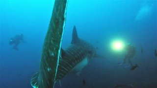 Massive whale sharks swims right through group of scuba divers - Video