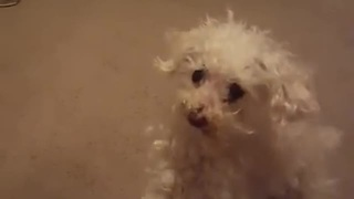 Little Poodle Can't Jump Onto Couch, Takes Frustration Out On Owner - Video