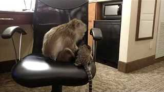 Monkey and a Marmoset Having a Playdate - Video