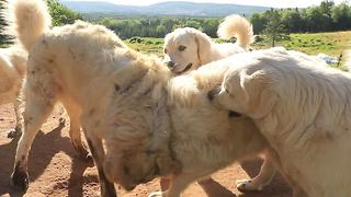 Livestock guard dogs take a break for playtime - Video