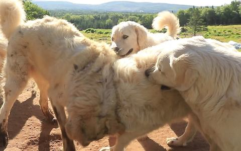 Livestock guard dogs take a break for playtime