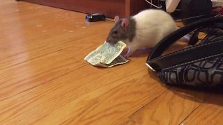 Money-hungry rat steals dollar bill from purse - Video