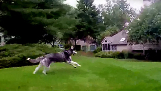Never Let a Siberian Husky Off Leash? - Video