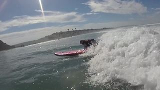 A day in the life of a surfing pug! - Video