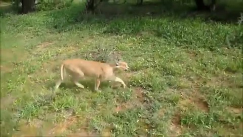 Rescued caracal goes for a walk