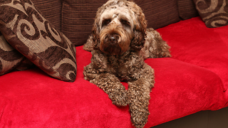 Labradoodle must chew toy to fall asleep - Video