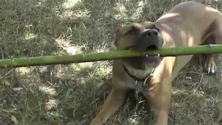 Helpful Dog Decides to Assist With the Gardening - Video