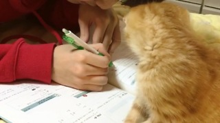 Cute kitten makes homework impossible to do - Video