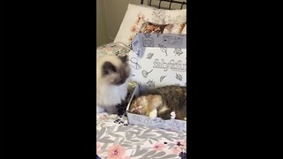 Cardboard box causes instability between cat friendship - Video