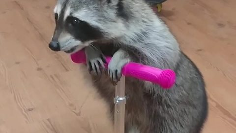 Clever raccoon rides scooter for treats