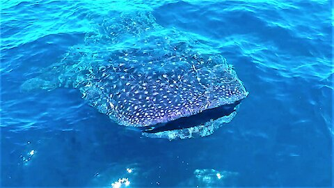 Whale Sharks Surround Boat In The Open Ocean