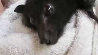 Tiny Rescued Baby Bat Tries To Defend Herself From Her Rescuers - Video