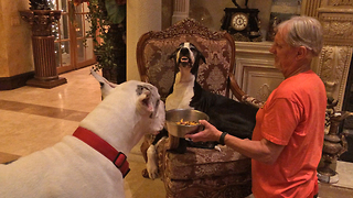 Funny Great Dane smiles and growls at her brother