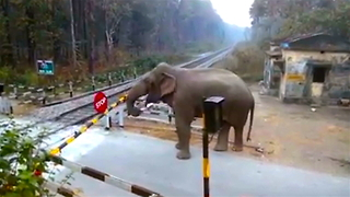 Cheeky Elephant Crosses Railway Track: SNAPPED IN THE WILD - Video