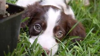 Spaniel Puppy Makes Friends in the Garden - Video