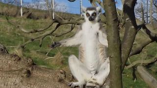 Sunbathing lemurs work on their tan - Video