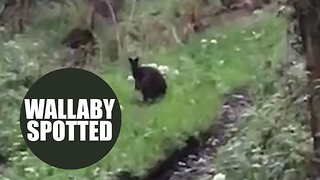 Video footage shows a wallaby in the loose in the UK - Video