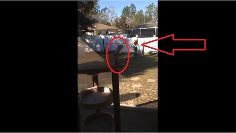 Cockatoo sees humans on trampoline, mimics them by jumping!
