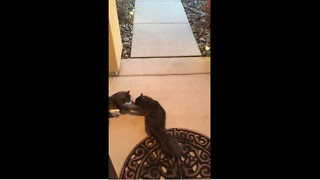 Weirdo cats love to roll around on concrete - Video