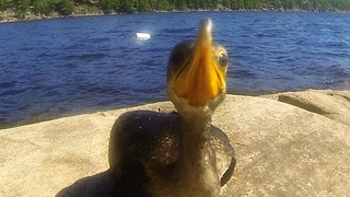 Curious baby cormorant closely investigates camera - Video