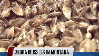 Invasive mussels found in Montana - Video