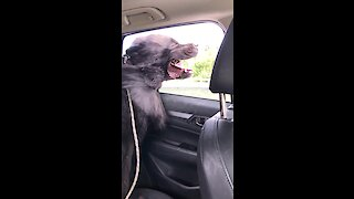Newfoundland rides with his head out the window