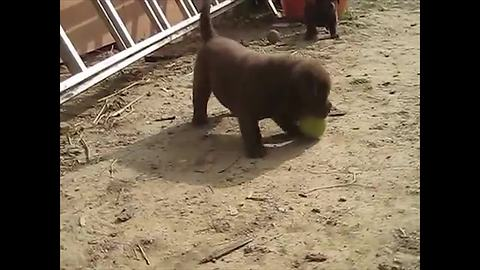 Puppy discovers tennis ball, finds new favorite toy