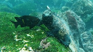Galapagos marine iguanas are one of nature's most unusual creatures
