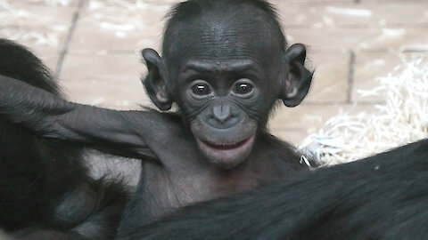 Adorable baby bonobo is all smiles