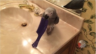 Naughty parrot chews comb and apologizes - Video