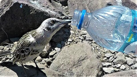 Tiny bird follows tourist to beg for a drink from his water bottle