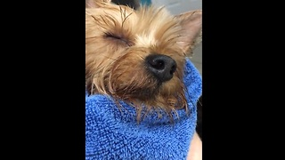 Owner sings dog to sleep after bath time - Video