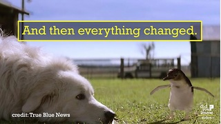 These dogs saved tiny penguins from extinction - Video