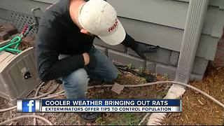Take 'holiday rat lap' around house to keep critters out during cold spell - Video
