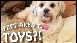 Confused Dog Thinks Feet Are Toys - Video