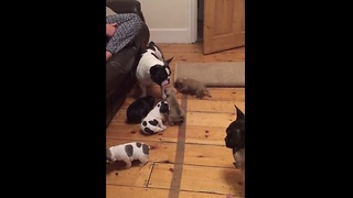 French bulldog adorably plays with newborn puppies