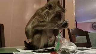Pet Monkey Sabotages Kids' School Stuff Before First Day Back - Video