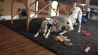 Dalmatian couple enjoy playtime together - Video