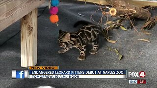 Clouded leopards make debut at Naples Zoo