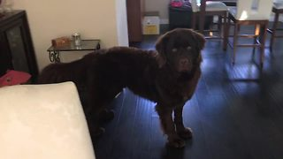 Newfoundland learns how to play hide-and-seek