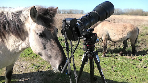 Wild Horse Interested In Taking Over Photographer's Job